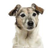 一条老杰克罗素狗的特写镜头, 13岁 免版税库存图片