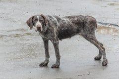 一条老狗的凝思关于前狩猎技艺的 免版税库存照片