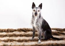 一条老狗的演播室画象 免版税库存照片