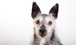 一条老狗的演播室画象 库存照片