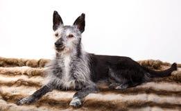 一条老狗的演播室画象 库存图片