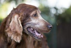 一条老美丽的爱犬的面孔作为气喘的在夏天 库存照片