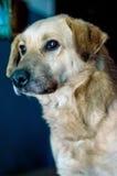 一条聪明的狗的画象 库存图片