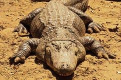 一条肥胖鳄鱼 免版税库存照片