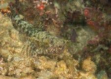 一条苗条歧须鱼危的特写镜头, Saurida薄肌基于巴厘岛海底  库存照片