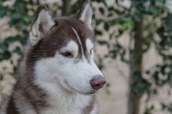 一条英俊的西伯利亚爱斯基摩人狗 库存图片
