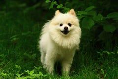 一条蓬松小狗(pomeranian)使发笑  免版税库存图片
