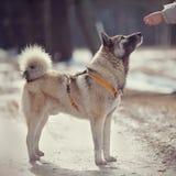一条蓬松狗的训练 库存照片