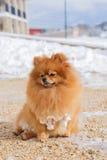一条蓬松Pomeranian狗的画象 免版税库存照片