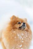 一条蓬松Pomeranian狗的画象 图库摄影