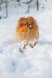 一条蓬松Pomeranian狗的画象 库存照片