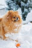 一条蓬松Pomeranian狗的画象 免版税库存图片