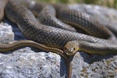 一条蛇的正面图在岩石的 免版税图库摄影