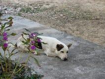 一条街道狗的可爱的特写镜头在泰国 图库摄影