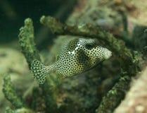 一条被察觉的树干鱼的图象在礁石的 库存图片