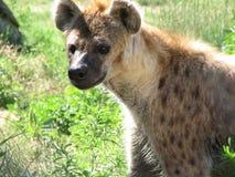 一条被察觉的鬣狗的可爱的面孔在厚实的草的 图库摄影