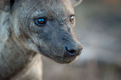 一条被察觉的鬣狗的旁边外形在克鲁格的 免版税库存图片