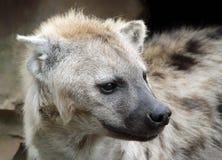 一条被察觉的鬣狗的纵向 免版税图库摄影