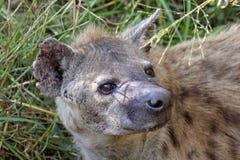 一条被察觉的鬣狗的纵向 库存照片