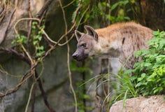 一条被察觉的鬣狗,斑鬣狗斑鬣狗 图库摄影
