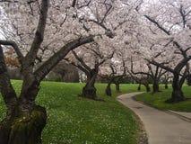 一条路通过樱花 免版税库存图片