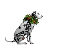 一条达尔马希亚狗的画象与橙色山脉灰花圈arou的 库存照片
