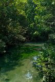 一条迷人的透明河在美洲红树森林里 免版税库存图片