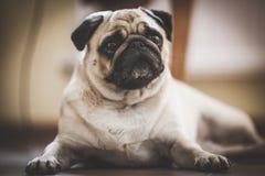 一条逗人喜爱的哈巴狗狗 免版税库存图片