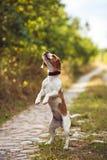 一条逗人喜爱的小猎犬狗乞求 免版税库存图片