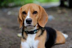 一条逗人喜爱的小猎犬狗的画象 库存照片