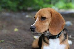 一条逗人喜爱的小猎犬狗的画象 免版税库存图片