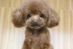 一条逗人喜爱的棕色女用连杉衬裤狗 免版税库存图片