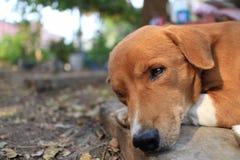 一条逗人喜爱的棕色狗的画象 免版税库存图片