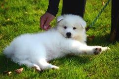 一条逗人喜爱的爱犬,一只白色日本波美丝毛狗小狗,在街道上在一个晴朗的夏日 图库摄影