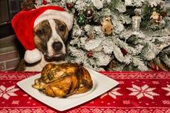 一条逗人喜爱的狗乞求为假日晚餐 免版税库存图片