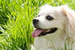 一条逗人喜爱的玩具品种狗的顶头画象 库存图片
