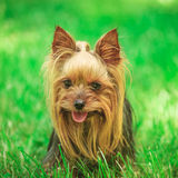 一条逗人喜爱的约克夏狗小狗的面孔在草的 库存图片