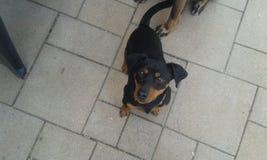 一条逗人喜爱,小,凉快和快速的狗 免版税库存图片