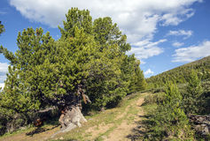 一条道路在有巨大的树的雪松森林里 免版税库存照片