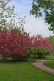 一条道路在有开花的苹果树的一个公园 图库摄影