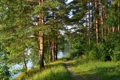 一条道路在树之间的杉木森林阳光下 夏天 俄国 库存照片