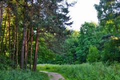 一条道路在树之间的杉木森林阳光下 夏天 俄国 免版税库存图片