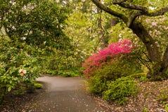 一条道路在波特兰` s克里斯特尔里弗杜鹃花庭院里 免版税库存照片