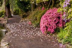 一条道路在波特兰` s克里斯特尔里弗杜鹃花庭院里 库存照片