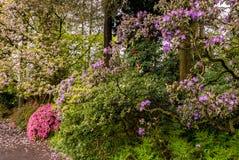 一条道路在波特兰` s克里斯特尔里弗杜鹃花庭院里 图库摄影