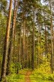 一条道路的垂直的射击在杉木森林高大的树木的 叶子 秋天 免版税库存图片