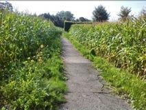 一条道路穿过玉米田 免版税库存图片