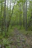 一条道路穿过白杨木 图库摄影
