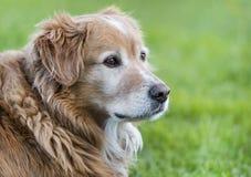 一条金毛猎犬狗的纵向 免版税图库摄影