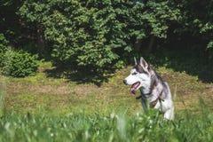 一条阿拉斯加的狗 库存图片